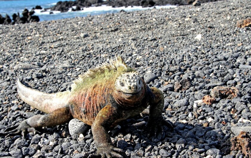 Marine iguanas take over the islet of Tintoreras, off the coast of the island of Isabela in the Galapagos.