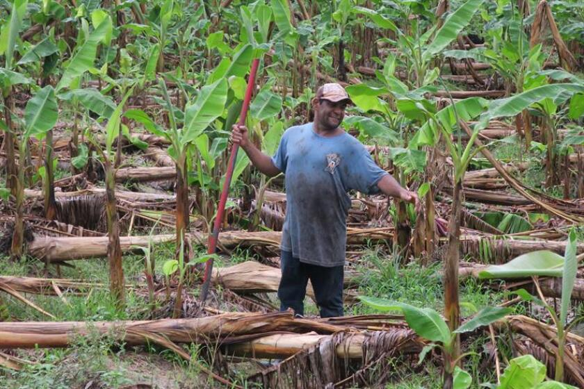 Un agricultor corta troncos de plátanos dañados por el paso del huracán María en el municipio de Yabucoa, al sureste de Puerto Rico. EFE/Archivo
