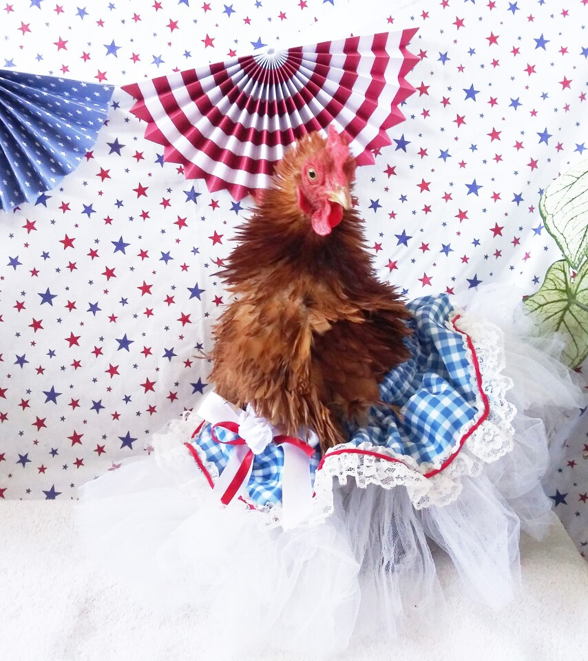 """Ginger Ale, a chicken, wore a patriotically-themed skirt and won the """"all others"""" category."""