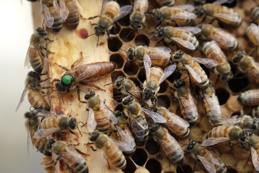 Bees move around a hive in Manchester, N.H.