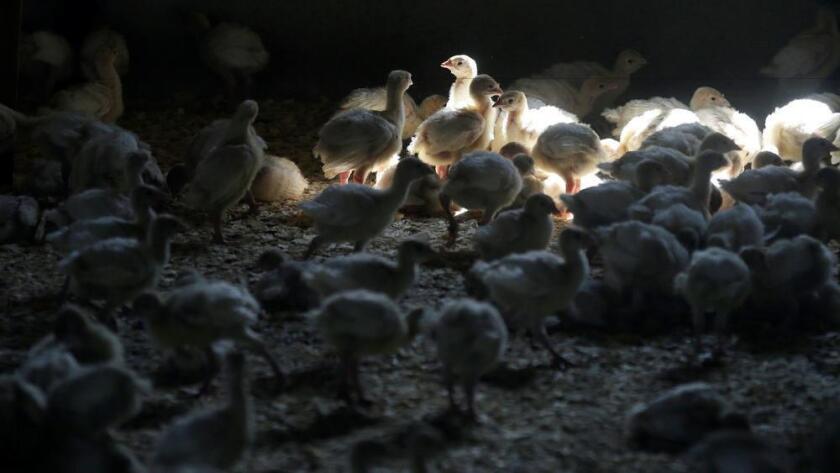 Los pavos se colocan dentro de un granero en una granja del pavo en Iowa, el 10 de agosto de 2015. (Charlie Neibergall / Associated Press)