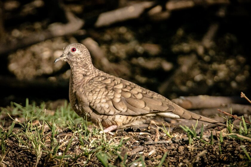 Inca doves are about 8 inches long and have light brown coloration with dark brown edges on their feathers.
