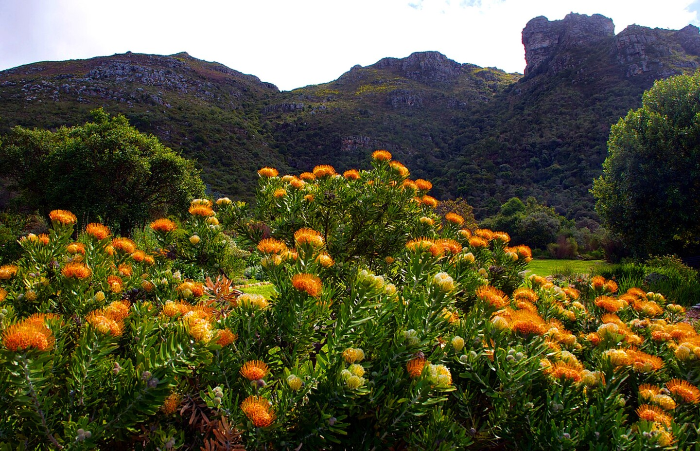Bright orange and yellow pincushion flowers in front of Cape Town's Table Mountain.