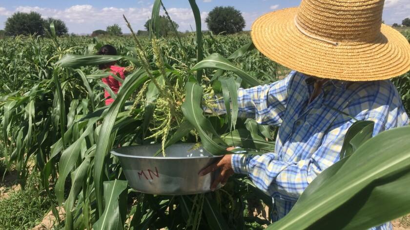Family members pick crops at Bertha Etsitty's farm.
