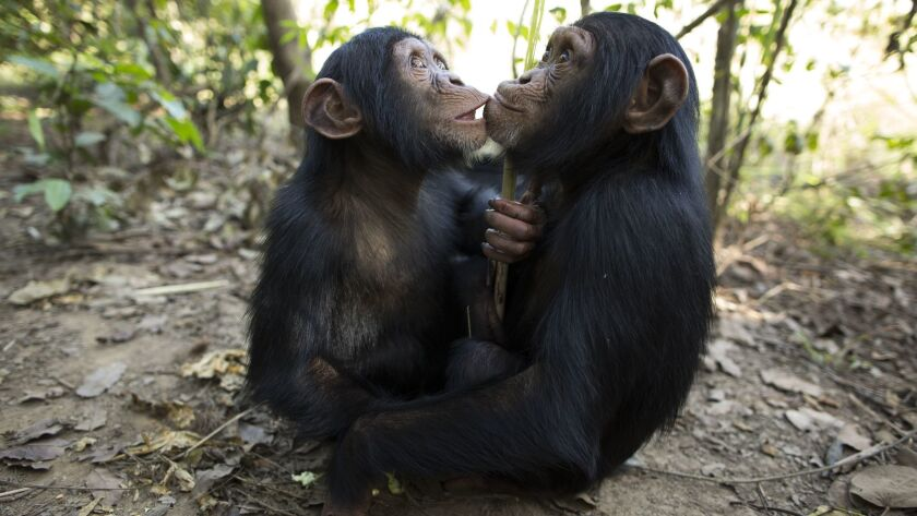 Chimps need friends