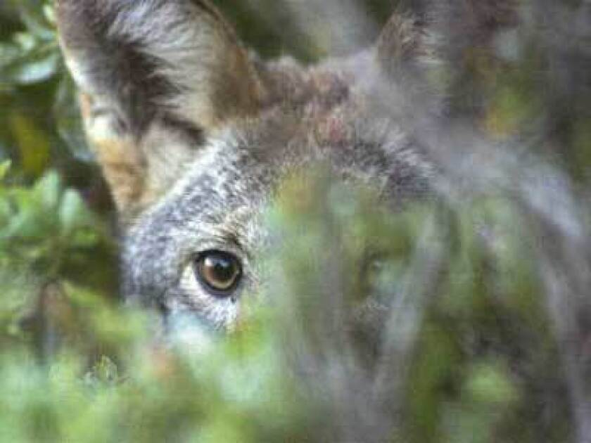 A coyote bit a woman Tuesday in the Golden Gate National Recreation Area.
