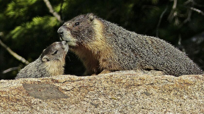MARKLEEVILLE, CA - Marmots gamboling in the grass at Hope Valley, Sorensen's Resort.