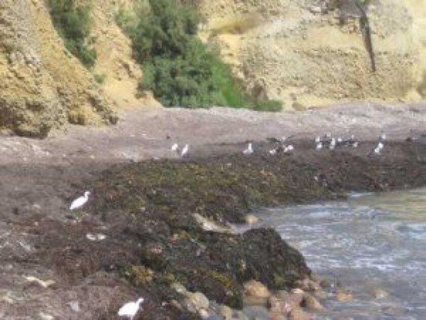 "Seaweed near Bird Rock emits a ""rotten egg smell,"" but no harmful gases. Ashley Mackin"
