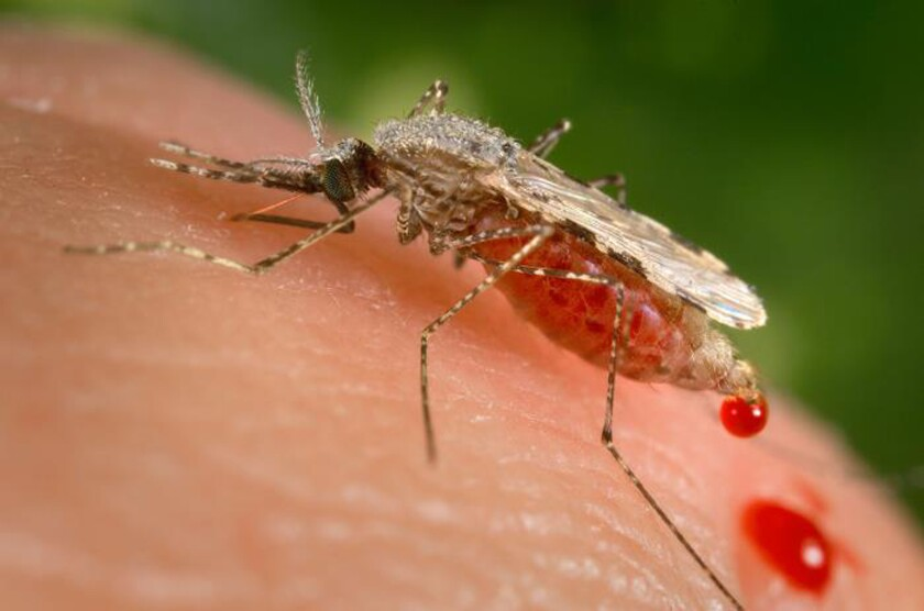 FILE - This file photo provided by the Centers for Disease Control and Prevention (CDC) shows a feeding female Anopheles Stephensi mosquito crouching forward and downward on her forelegs on a human skin surface, in the process of obtaining its blood meal through its sharp, needle-like labrum, which it had inserted into its human host. In a study published Wednesday, Sept. 22, 2021, scientists say there is evidence a resistant form of malaria is spreading in Uganda, in a worrying sign the top drug used against the parasitic disease could ultimately be rendered useless without concerted efforts from countries and global health officials. (James Gathany/CDC via AP, File)
