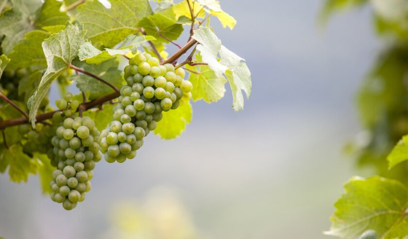Riesling grapes growing in the Mosel wine region of Germany.
