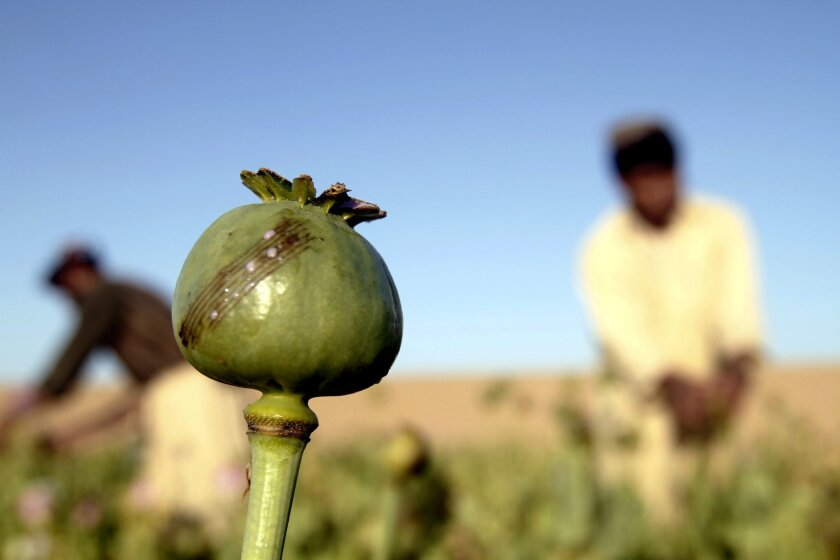 Scientists are getting closer to understanding how to produce opium in yeast -- making it unnecessary to depend on poppies to produce heroin, morphine and other drugs. The advance will foster the development of better pain relievers and other useful compounds, some say -- but could also make it possible for people to make addictive opiates at home. Here, Afghan farmers harvest raw opium at a poppy field in Afghanistan in April.