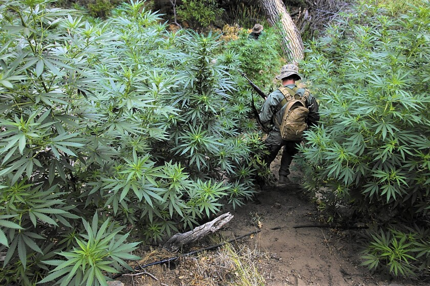 A California Department of Fish and Game warden wades through a marijuana patch during an early morning raid on an illegal growing operation in the Sierra Nevada foothills in 2012.