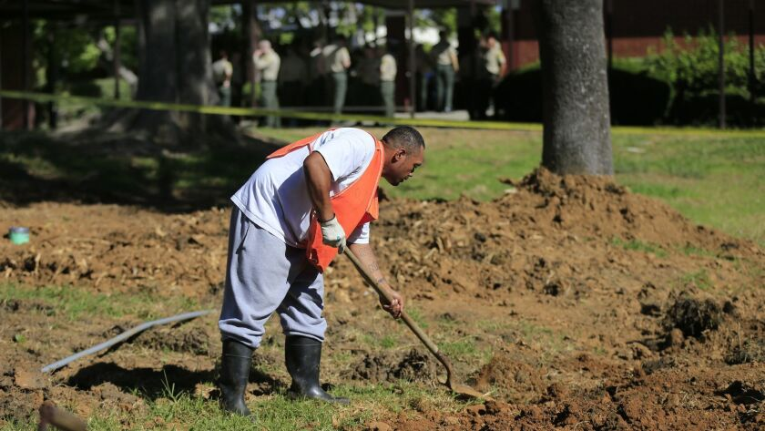 A man digs up a lawn during his work release program in Whittier, Calif., on Nov. 3, 2015.
