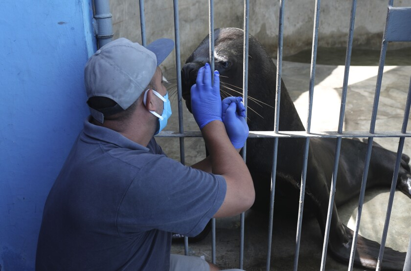 A worker interacts with a seal