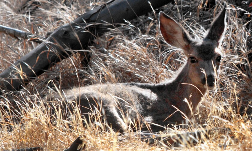 Scrawny and covered with insects, a California mule deer fawn lies in parched grass after looking for food in Descanso Canyon on Santa Catalina Island. The ongoing drought has hit the state's wildlife hard.