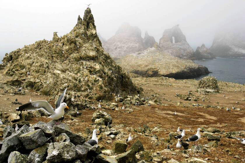 Gulls are seen nesting near the North Landing area of the Farallon National Wildlife Refuge. Federal officials have proposed expanding marine sanctuaries near the islands.