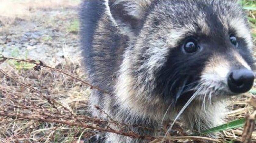 According to one reader, raccoons dislike talk radio.