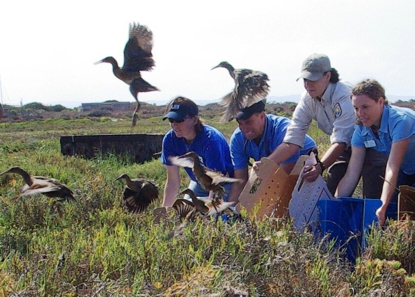 Employees of SeaWorld and the U.S. Fish and Wildlife Service release light-footed clapper rails into the Sweetwater marsh in 2010.