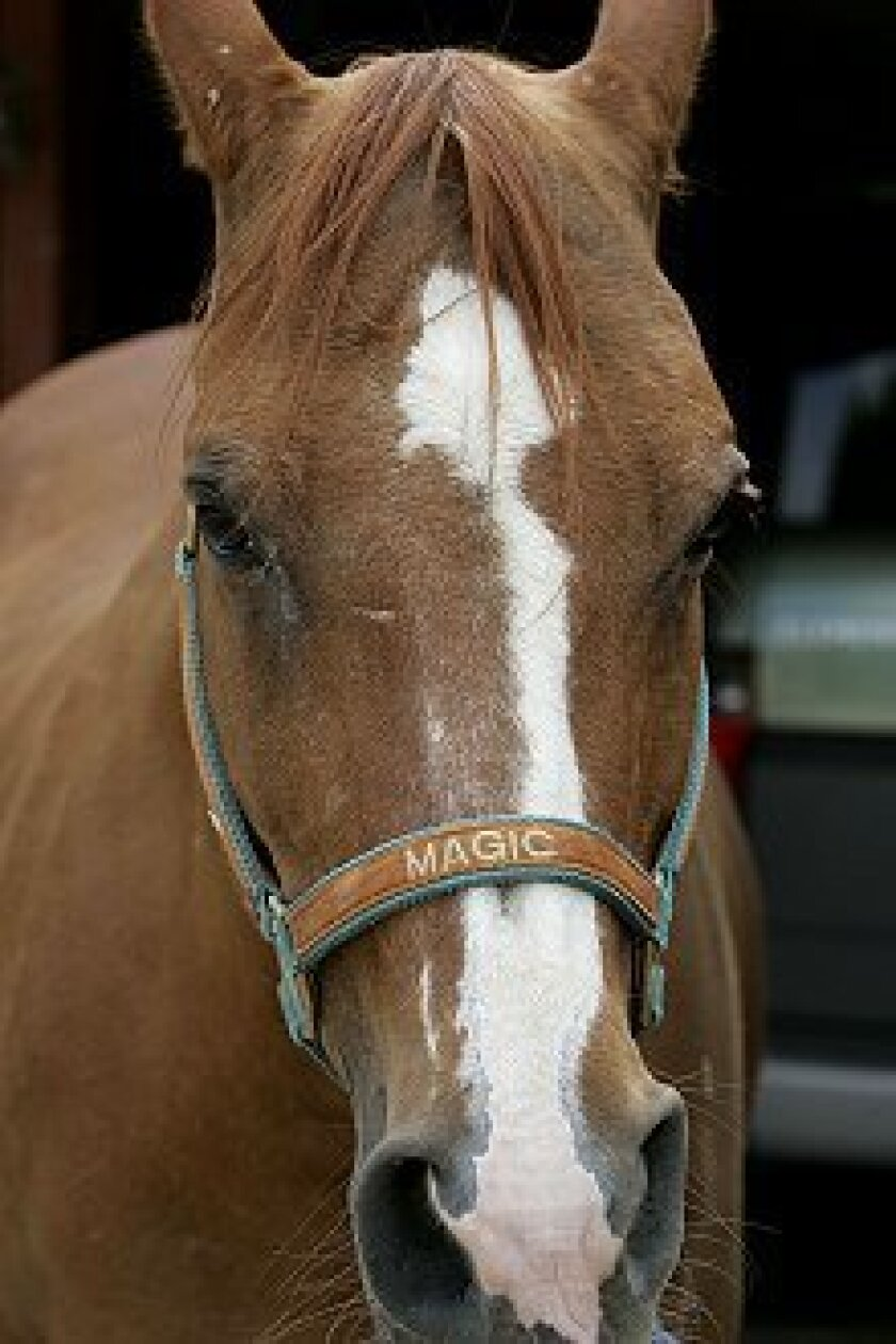 At age 42, Magic is thought to be the oldest Arabian in the U.S.