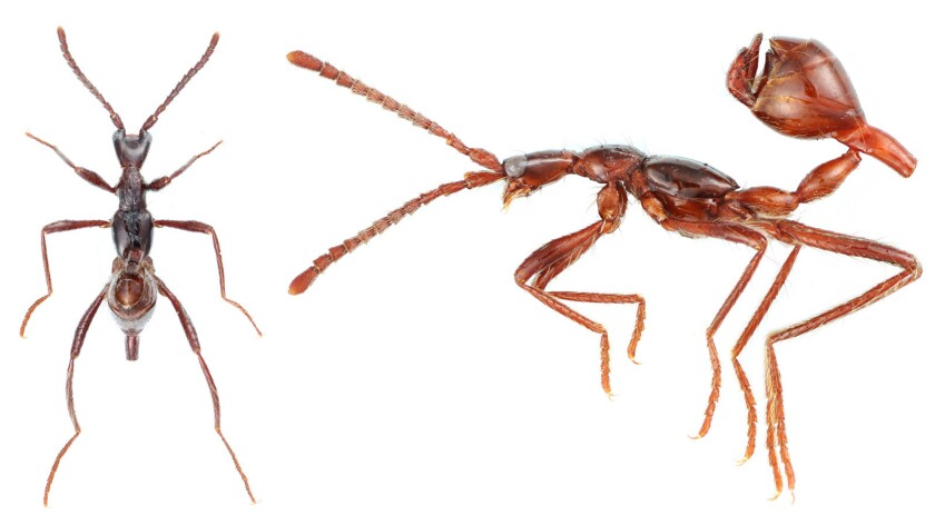 Two views of Aenictoteras, a genus of rove beetle that has evolved ant-like body forms to live in ant colonies and feed off their brood.