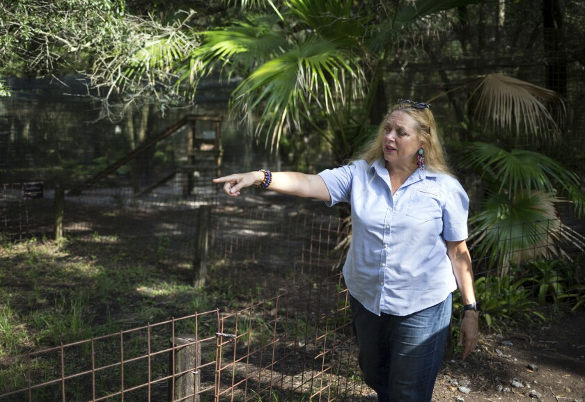 """FILE - In this July 20, 2017, file photo, Carole Baskin, founder of Big Cat Rescue, walks the property near Tampa, Fla. Officials said, a female volunteer who regularly feeds big cats was bitten and seriously injured by a tiger Thursday morning, Dec. 3, 2020, at the sanctuary, which was made famous by the Netflix series """"Tiger King."""" (Loren Elliott/Tampa Bay Times via AP, File)"""