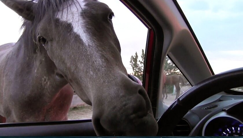 This still image from video from May 31, 2014 shows a stray horse outside of a Placitas, New Mexico, neighborhood attempting to chew a steering wheel of a car. For decades, the free-ranging horses have roamed this small mountain hamlet in New Mexico where they often gallop on residents' property and dash along roads. Federal officials say they plan on removing the horses roaming on nearby federal land after some residents complained the 125 or so horses have damaged the landscape amid drought conditions.(AP Photo/Russell Contreras)