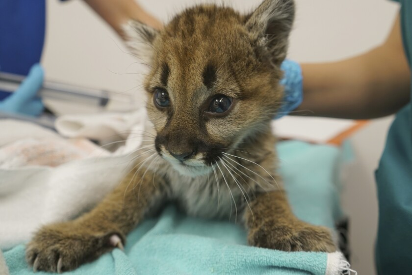 A rescued male mountain lion cub recovers at the Oakland Zoo.