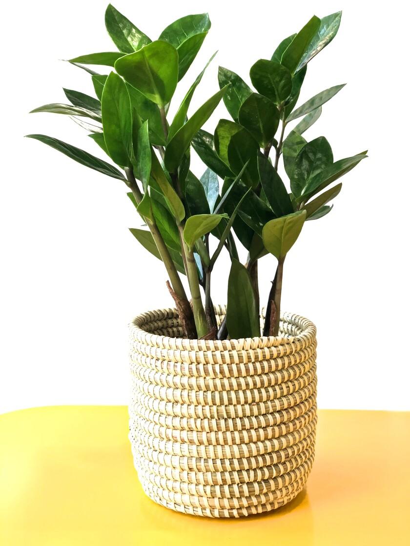 la-hm-low-maintenece-indoor-plants-potted-12.JPG