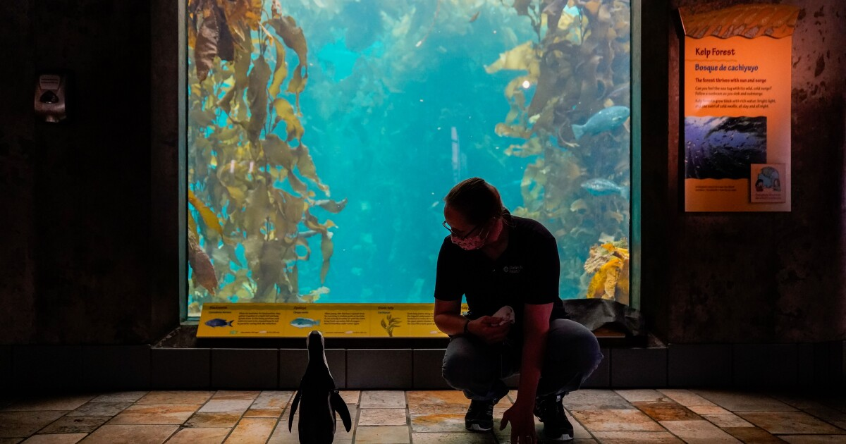 At Monterey Bay Aquarium, the sea animals are doing great, but business is tanking