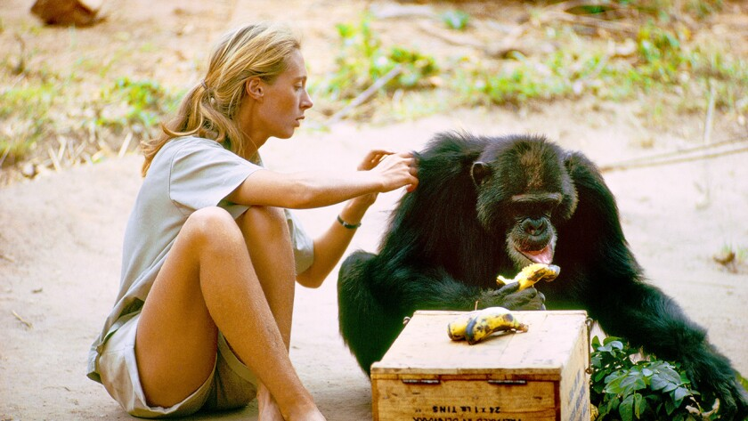 """Dr. Jane Goodall in """"Jane"""" on National Geographic."""