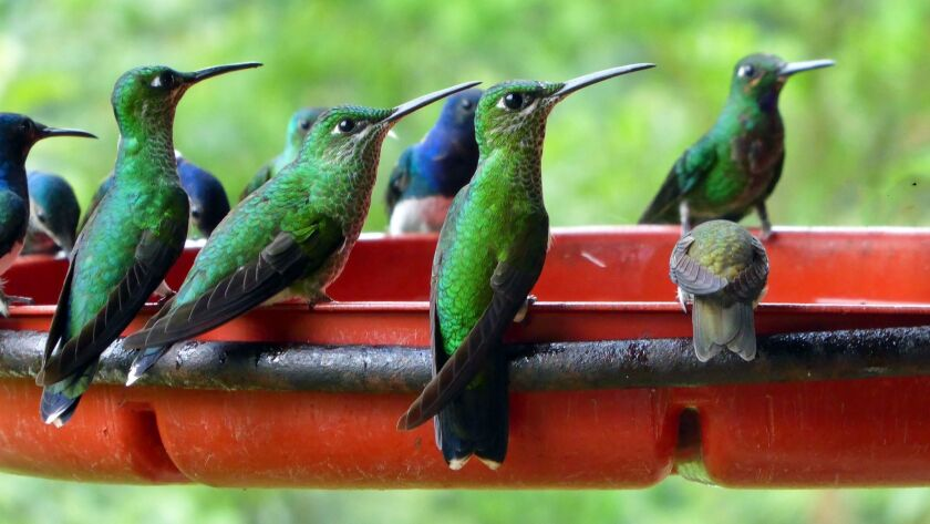 Three of the four Jocotoco reserves we visited had feeders jammed with a rich variety of hummingbird
