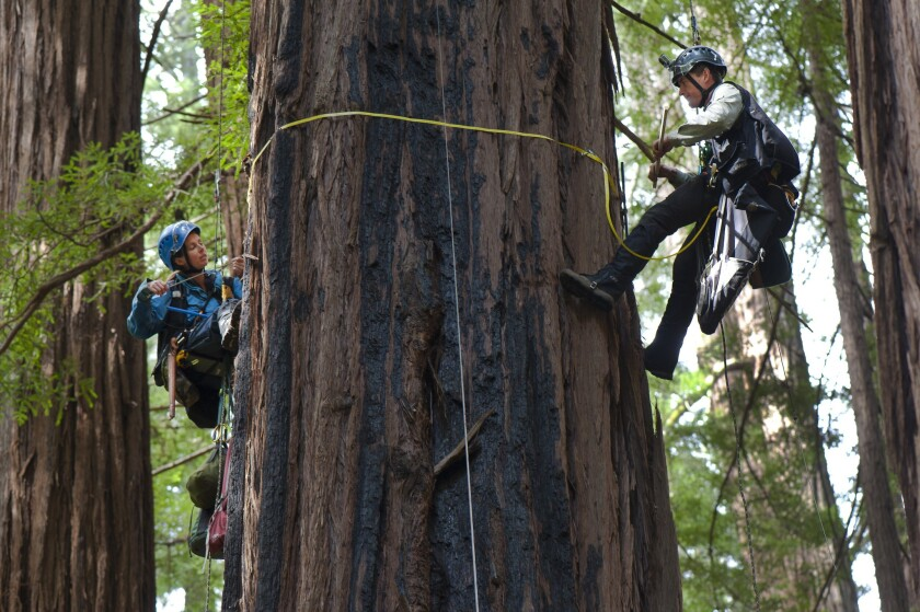 Scientists study the core of coastal redwoods in Muir Woods north of San Francisco.