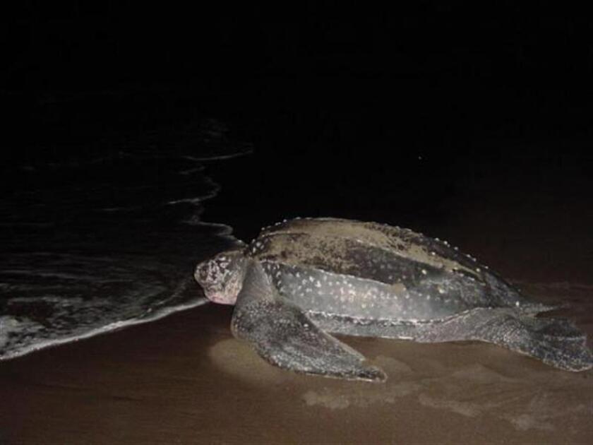 Vista de un ejemplar de tinglar, tortuga gigante en peligro de extinción, regresando al mar tras poner sus huevos en la arena de una playa de San Juan, Puerto Rico. EFE/Archivo