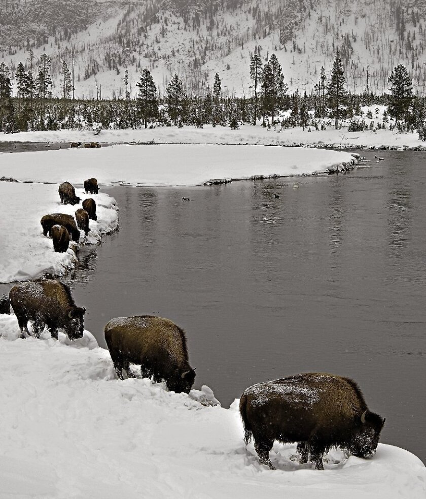 Bison in winter in Yellowstone National Park.