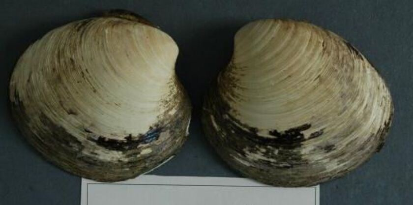Ming, the 507-year-old clam.