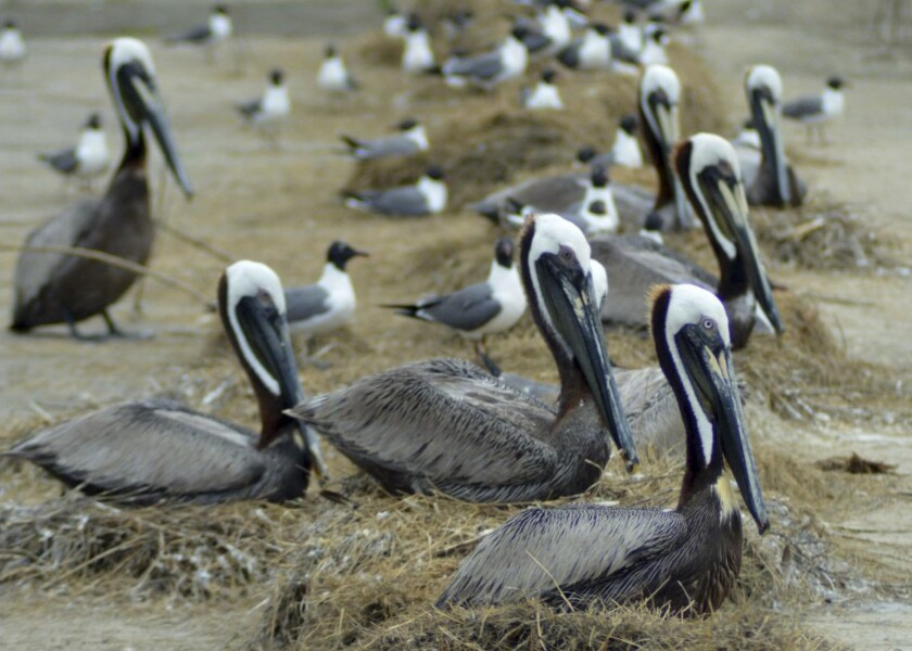 In this image provided by the Louisiana Coastal Protection and Restoration Authority, brown pelicans nest among laughing gulls on Rabbit Island in southwest Louisiana. Restoration of a southwest Louisiana island is proving wildly popular with the birds it was rebuilt for, according to the Louisiana Coastal Protection and Restoration Authority. (Louisiana Coastal Protection and Restoration Authority via AP)
