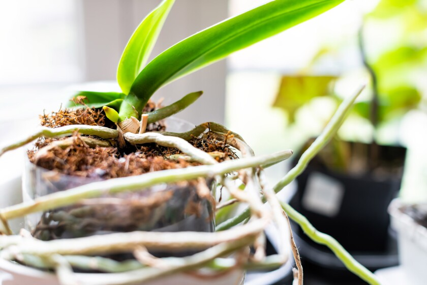 Closeup of orchid roots and leaves in flower pot on windowsill i