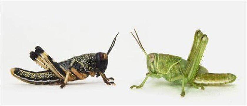 Common chemical causes locusts to swarm - The San Diego