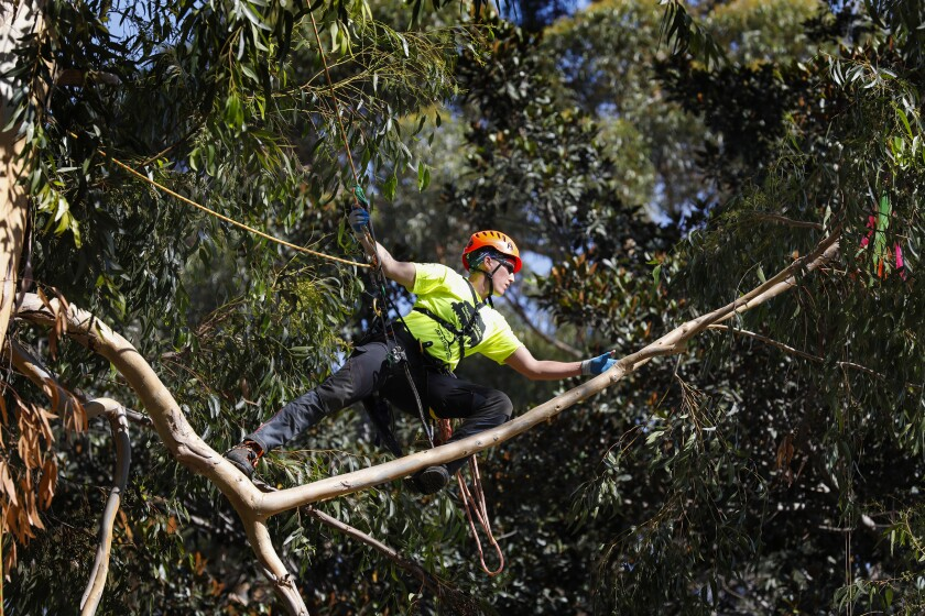 Internationally known tree climbing competitor Krista Starting, of Ontario, Canada, makes her way to the first of four targets she must touch in an eucalyptus tree (the target can be seen on the far right) during the finals of The International Society of Arboriculture North American Tree Climbing Competition in Balboa Park.