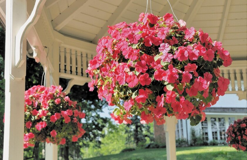 This hanging basket is planted with colorful impatiens.