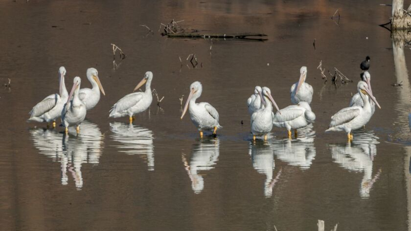 A small flock of white pelicans at Lake Hodges.