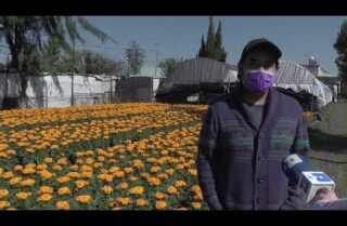 La fortaleza no deja de florecer en los cultivos de cempasúchil de Xochimilco