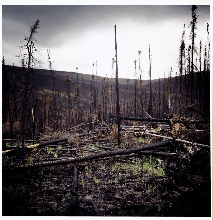 Burned forest in Alaska.