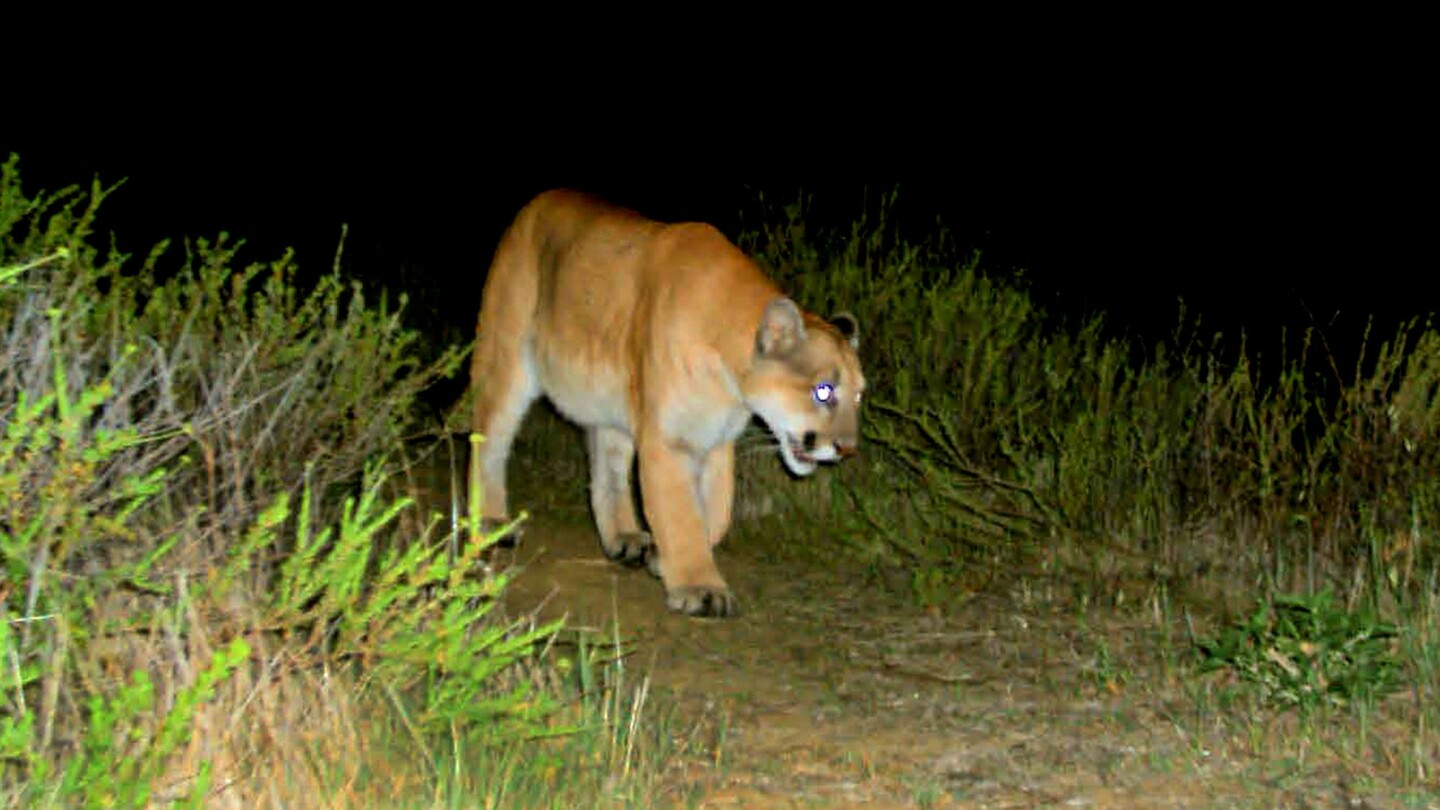 P-22, the mountain lion in Griffith Park, is photographed using a remote camera in February 2012.