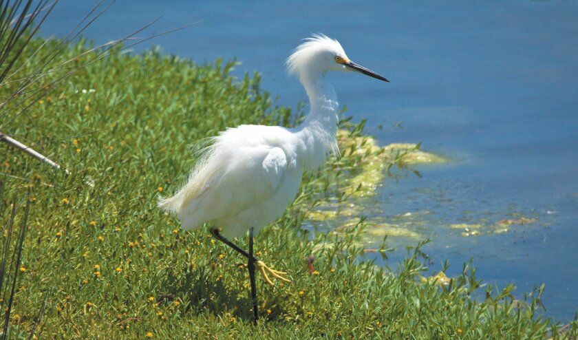 Yellow feet and black bill are the sure ways to identify the Snowy Egret.