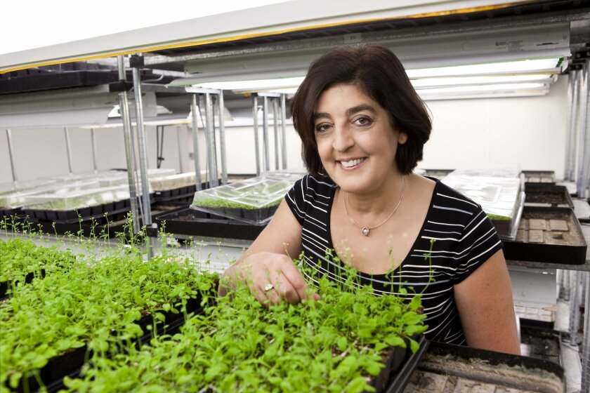 Joanne Chory, a plant biologist at the Salk Institute, has been named one of the most influential scientists in the world by Thomson-Reuters. Joe Belcovson / Salk Institute