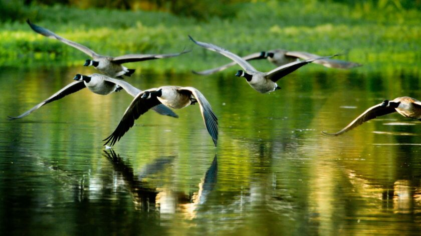 FRESNO ,CA., OCTOBER 2, 2015: A flock of geese take flight at Lost Lake on the San Joaquin River nea