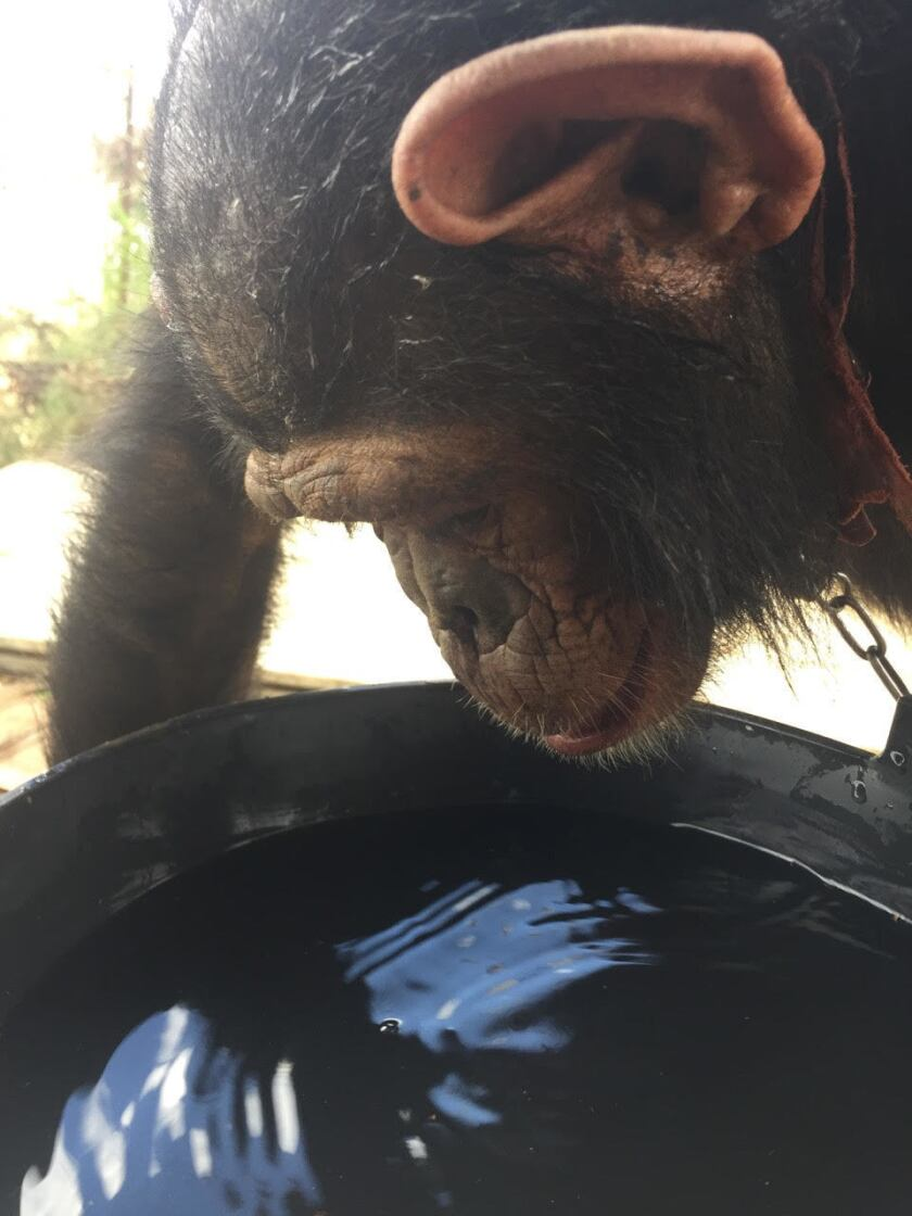 The fascinated chimp gets her own water bucket for the first time.