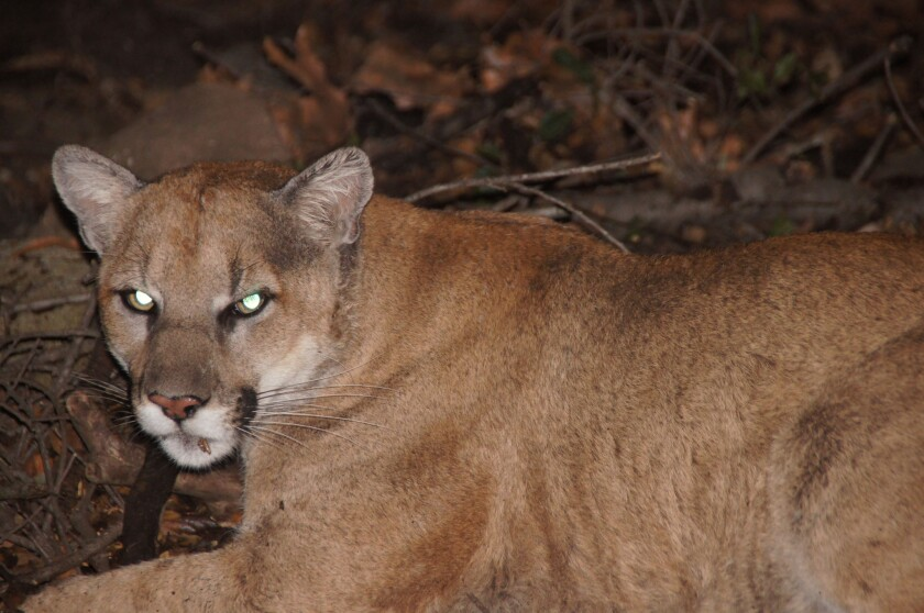 """A National Park Service photograph of P22, a mountain lion that officials determined was """"likely from the Santa Monica Mountains."""""""
