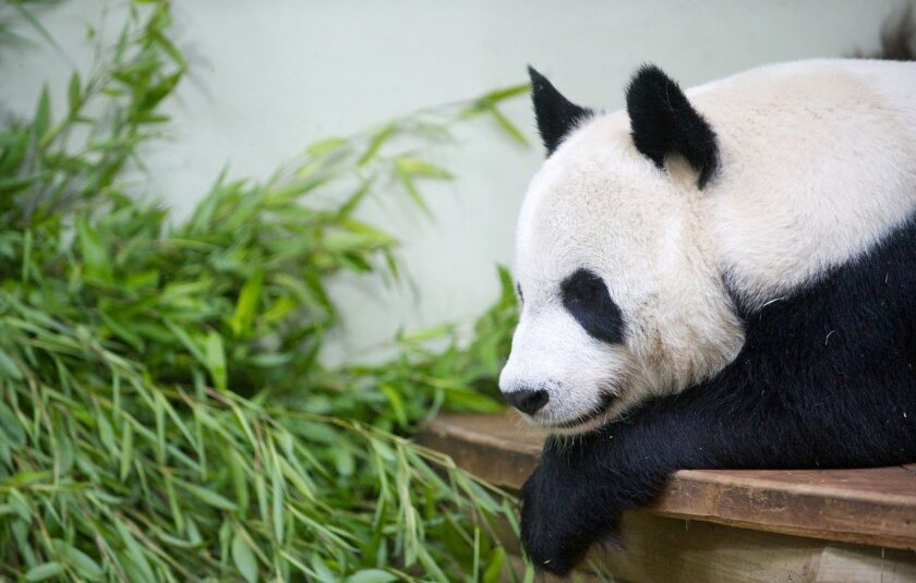 Britain awaits another birth - this one a panda